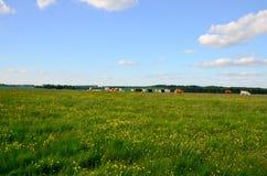 Herde des Viehs, das voll auf einem Feld des Löwenzahns weiden lässt Stockbilder