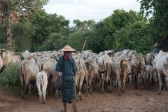 Herde des Viehs in der Landschaft Lizenzfreies Stockfoto