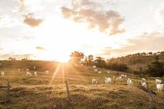 Herde des Viehs in der Weide Stockfotografie