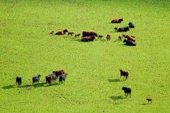 Herde des Viehs mit Kälbern Lizenzfreie Stockfotos