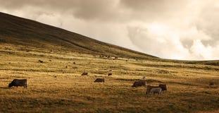 Herde des Viehs am Sonnenuntergang Stockfotografie