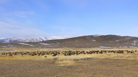 Herde des Viehs und der Schafe, die in der großen Steppe weiden lassen stock video footage