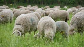 Herde des Weiden lassens von Schafen in Deutschland stock video