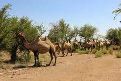 Herde des wilden Kamels Stockbilder