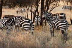 Herde des Zebras Stockfoto