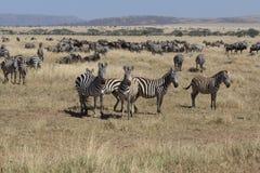 Herde des Zebras mit etwas Schauen in Serengeti lizenzfreie stockbilder