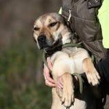 herde för collie för Belgien kantavel blandad hund Arkivbilder
