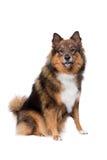 herde för collie för Belgien kantavel blandad hund Royaltyfri Bild