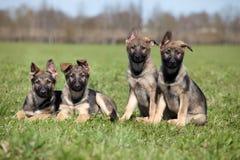 herde för fyra tysk puppys Arkivfoton