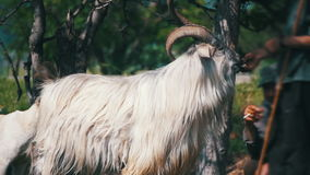Herde Feeds huvudsakligt RAM med stora horn långsam rörelse lager videofilmer