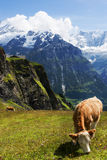Herde- glans i de schweiziska fjällängarna Arkivbilder