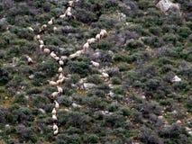 Herde Herde der sheeps Stockfotografie