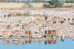 Herde Impalen Aepyceros melampus Trinkwassers an einem waterho Stockbilder