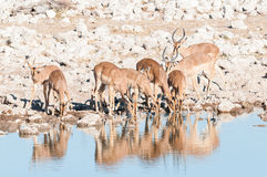Herde Impalen Aepyceros melampus Trinkwassers an einem waterho Stockfotografie