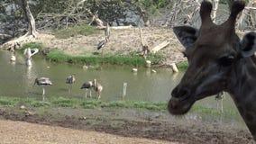 Herde 4k von Giraffen und von Zebras am Safari World-Zoo in Bangkok, Thailand stock footage