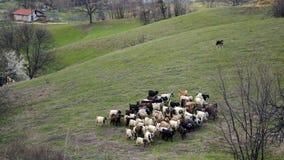 Herde- liv Arkivfoton