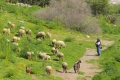 Herde med hans får, Turkiet Arkivbilder