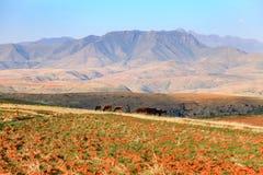Herde med hans hörda Lesotho Royaltyfri Bild