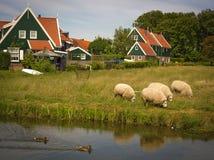 Herde- plats i lantliga Holland med betande får Arkivfoto