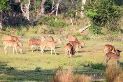 Herde von Achsenrotwild Sri Lankan, Achsenachse ceylonensis Stockfotografie