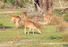 Herde von Achsenrotwild Sri Lankan, Achsenachse ceylonensis Stockfotos