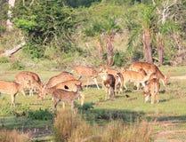 Herde von Achsenrotwild Sri Lankan, Achsenachse ceylonensis Stockbild