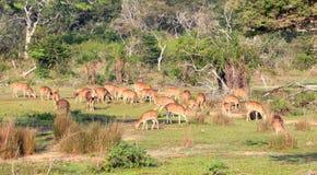 Herde von Achsenrotwild Sri Lankan, Achsenachse ceylonensis Stockbilder