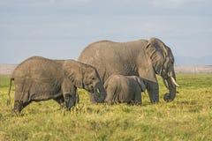 Herde von Afrikaner-Bush-Elefanten Lizenzfreie Stockfotografie