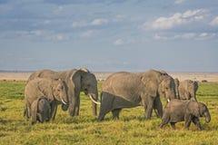 Herde von Afrikaner-Bush-Elefanten Stockfoto