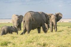 Herde von Afrikaner-Bush-Elefanten Lizenzfreies Stockbild