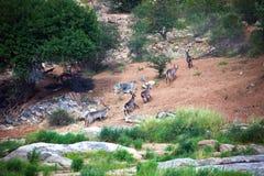 Herde von afrikanischen Antilopen Waterbuck bewegt sich entlang die Flussbank Lizenzfreie Stockfotos
