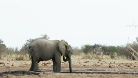 Herde von afrikanischen Elefanten auf waterhole stock video