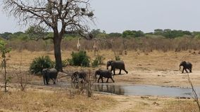 Herde von afrikanischen Elefanten und von Giraffen an einem schlammigen waterhole stock video footage