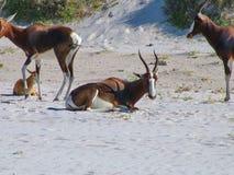 Herde von blesbok Lizenzfreies Stockbild