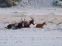 Herde von blesbok Lizenzfreies Stockfoto