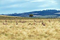 Herde von Blesbok einziehend auf trockene Winter-Wiesen-Landschaft Lizenzfreie Stockfotos
