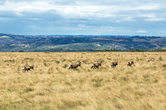 Herde von Blesbok wandernd auf trockene Winter-Wiesen-Landschaft Lizenzfreies Stockbild