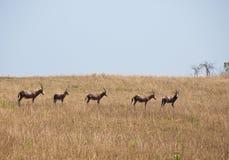 Herde von blesbucks in der Savanne Lizenzfreies Stockbild