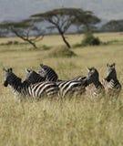 Herde von Burchells Zebra. lizenzfreie stockfotografie