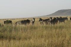 Herde von Burchells Zebra. II Stockfoto