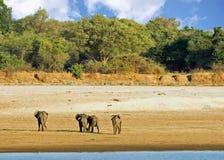 Herde von den afrikanischen Elefanten, die auf das trockene Flussbett in Süd-luangwa Nationalpark, Sambia, südlicher Afrika gehen Stockbild