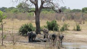 Herde von den afrikanischen Elefanten, die an einem schlammigen waterhole baden stock video footage