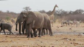 Herde von den afrikanischen Elefanten, die an einem schlammigen waterhole trinken stock footage