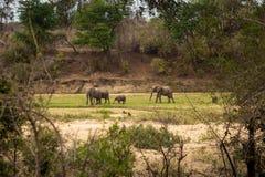Herde von den afrikanischen Elefanten, die im Fluss-Bett, Kruger-Park, Südafrika weiden lassen Lizenzfreie Stockfotografie