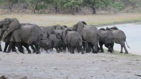 Herde von den afrikanischen Elefanten, die vom waterhole erlöschen stock video