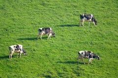 Herde von den britischen friesischen Kühen, die auf einem Ackerland weiden lassen Lizenzfreie Stockbilder