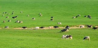 Herde von den britischen friesischen Kühen, die auf einem Ackerland weiden lassen Lizenzfreie Stockfotos