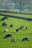 Herde von den britischen friesischen Kühen, die auf einem Ackerland weiden lassen Lizenzfreie Stockfotografie