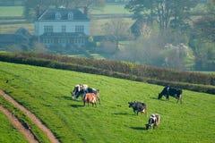 Herde von den britischen friesischen Kühen, die auf einem Ackerland weiden lassen Lizenzfreies Stockbild