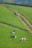 Herde von den britischen friesischen Kühen, die auf einem Ackerland weiden lassen Lizenzfreies Stockfoto